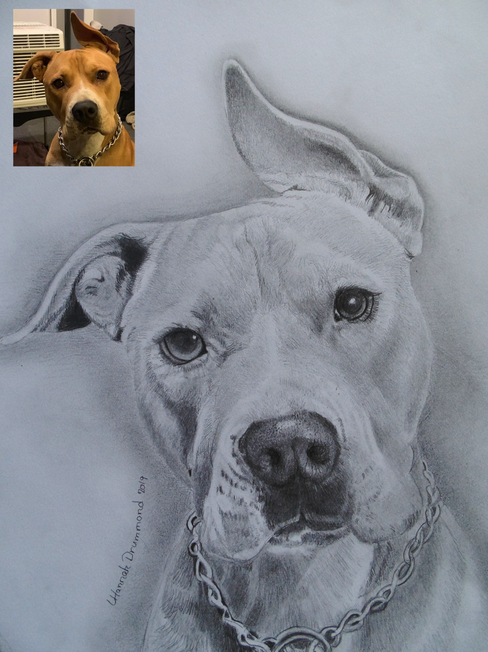 American Bully Drawing