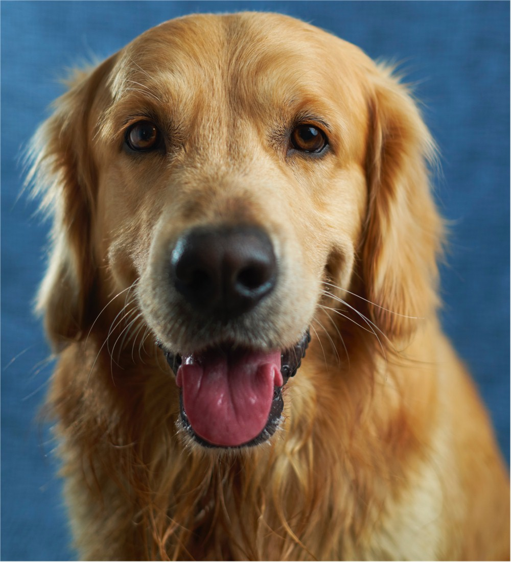 Golden Retriever Reference Photo